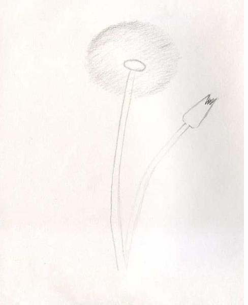 How to draw a dandelion pencil stages? Step 2.