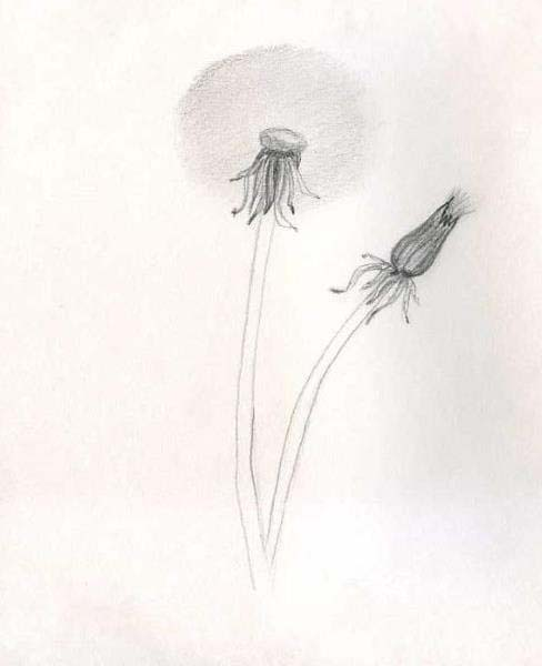 How to draw a dandelion pencil stages? Step 4.
