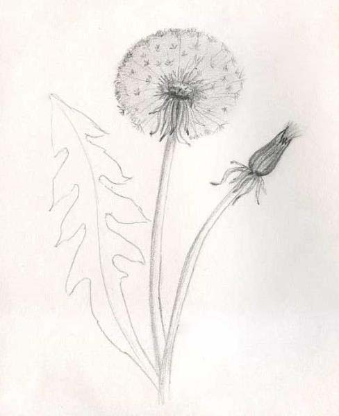 How to draw a dandelion pencil stages? Step 7.