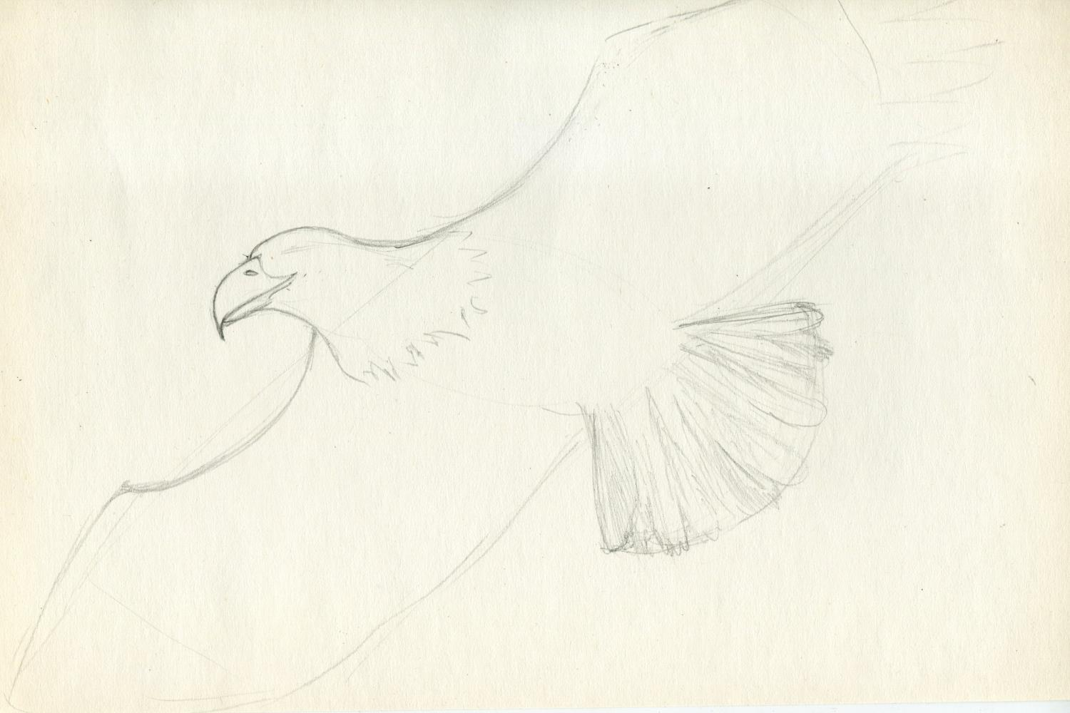 How to draw eagle pencil step by step? Step 3.