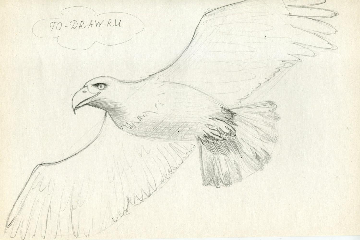 How to draw eagle pencil step by step? Step 5.