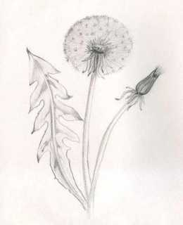 How to draw a pencil dandelion stages ? Quickly draw dandelions .